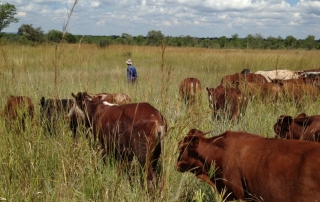 Zimbabwe landscape of well fed cattle on the move:  healing the planet one hoof at a time