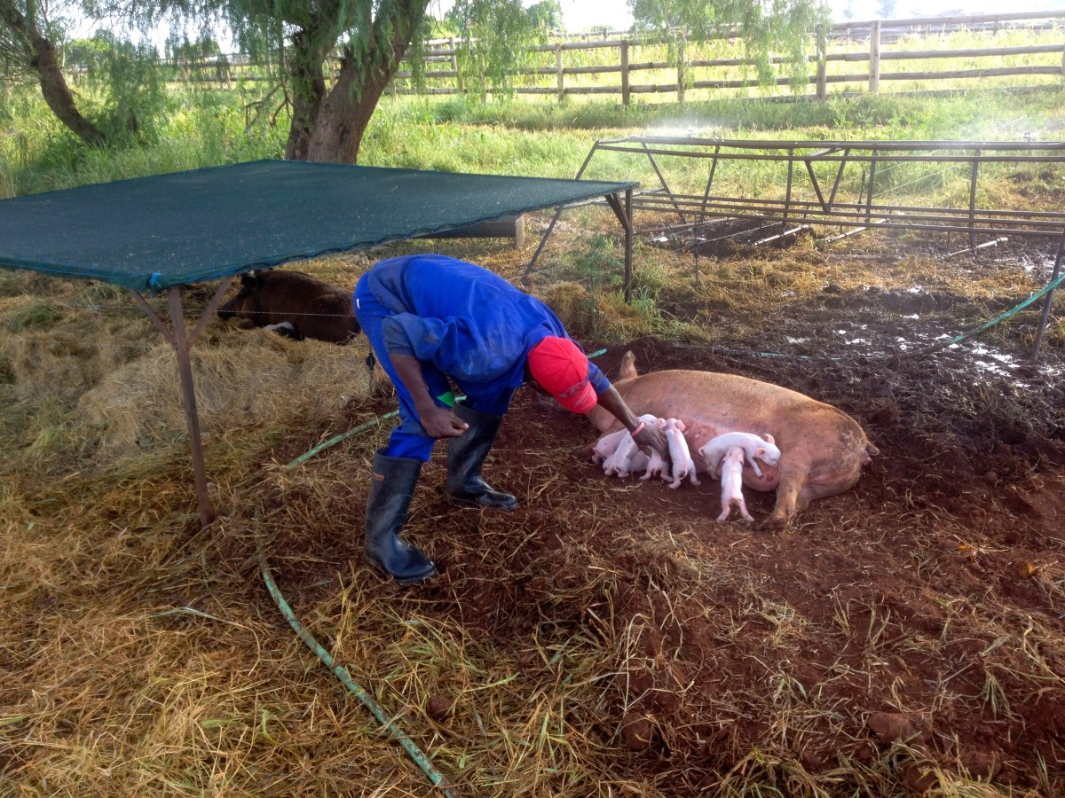 Shelter, water and piglets with mother